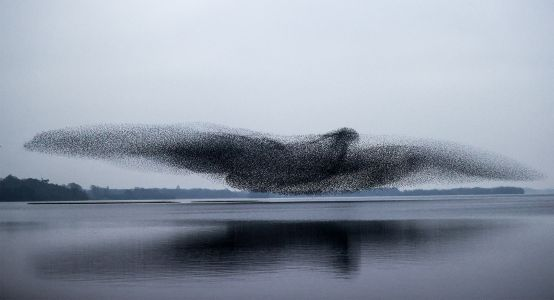 Countless Starlings Flock Together in a Miraculous Bird-Shaped Murmuration Over Lough Ennell