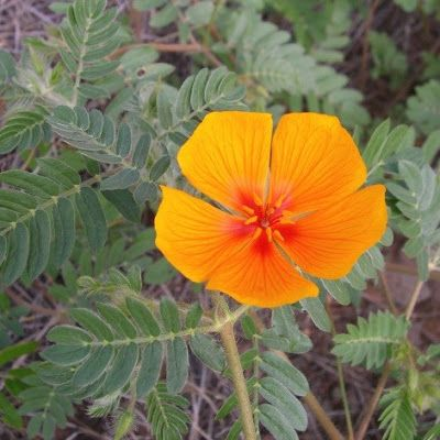 Tribulus Troubles: Wildflowers in the Edward Palmer Papers at the National Anthropological Archives
