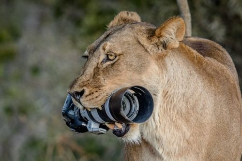 Lioness Steals Photographer's Canon DSLR and Gives It to Her Cubs