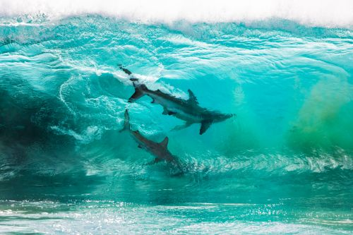 A Pair of Sharks Photographed Through a Cresting Wave by Sean Scott