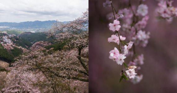 Where to Shoot Cherry Blossoms in Japan: A Practical Photo Guide