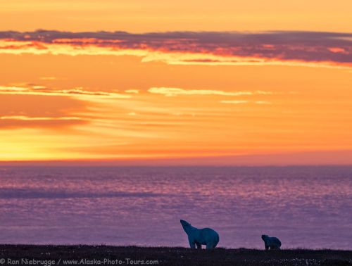 Polar Bear Sunsets