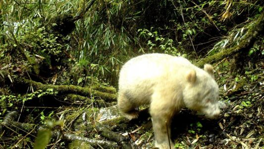 The First-Ever Photo of an Albino Giant Panda