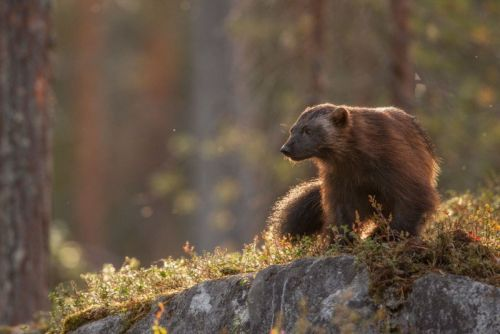 The Long Wait for a Chance to Photograph the Wolverine