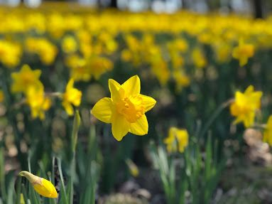 Let's Sketch Daffodil Hill at Lake View Cemetery