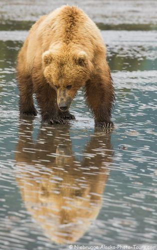 Brown Bear Reflections