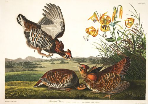 All 435 Illustrations from John J Audubon's 'Birds of America' Are Available for Free Download