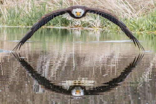Photographer Catches Bald Eagle with Symmetrical Reflection