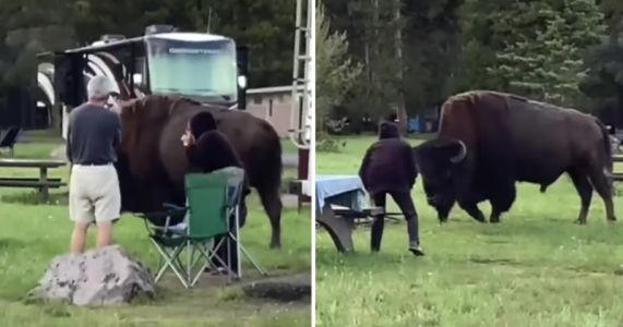 Moments Leading Up to Yellowstone Bison Attack Caught on Camera