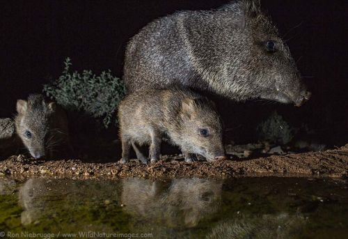 Javelina Babies with the Camera Trap
