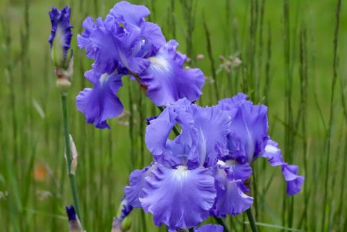 IRISES ALL AROUND
