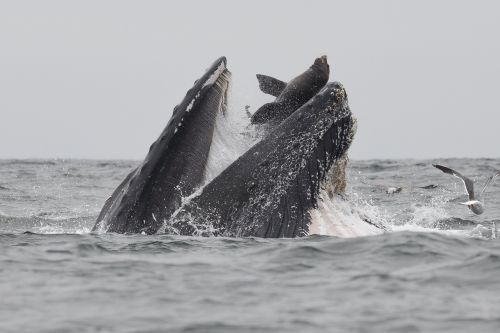 Photographer Captures Incredible Photo of Sea Lion Trapped in a Whale's Mouth