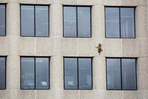 The Architecture Behind a Brave Racoon's Viral Skyscraper Climb