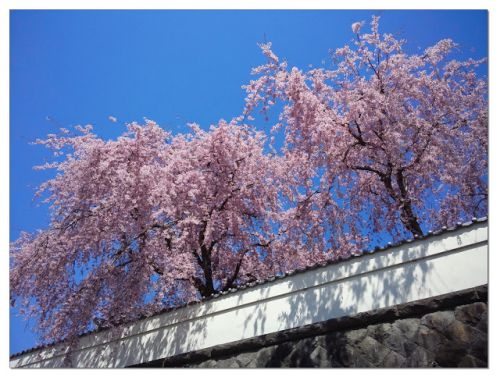 Worth a Thousand Words: Cherry Blossom Day