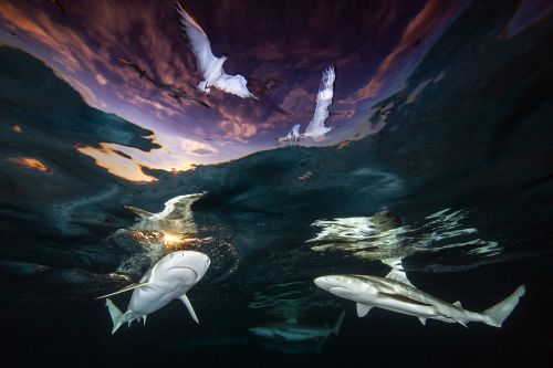 A Stunning Shot of Sharks Cruising Under a French Polynesian Sunset Wins the 2021 Underwater Photographer of the Year
