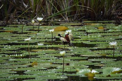 "Original Photography, Bird, Lily Pads ""Courageous 2"" by Peter Collins"