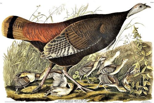 A Few Amazing Facts about Wild Turkeys