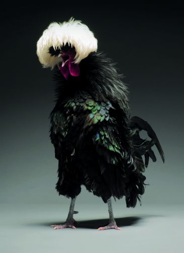 Dazzling Chickens Strut for the Camera in a New Photo Book by Moreno Monti and Matteo Tranchellini