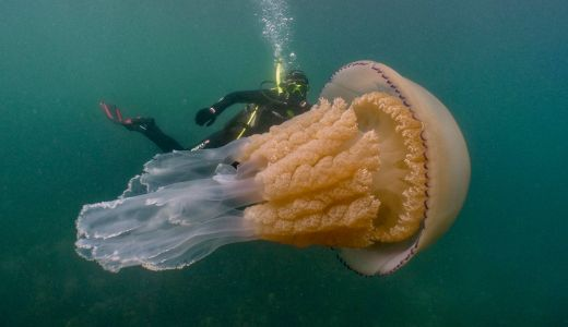 What It's Like to Capture an Incredible Human-Sized Jellyfish on Camera