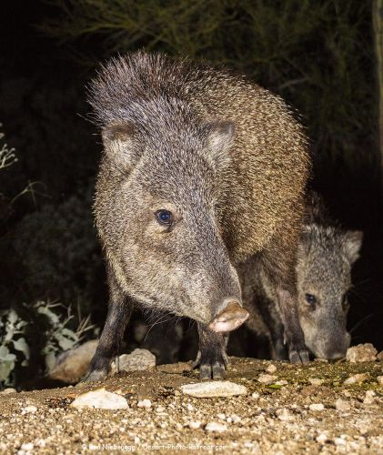 Javelina at Night