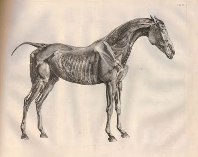 How Stubbs Did His Horse Dissections