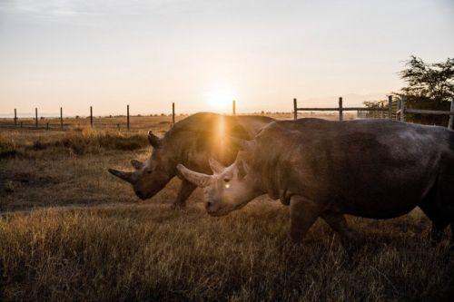 Photographing the Last Two Northern White Rhinos on Earth