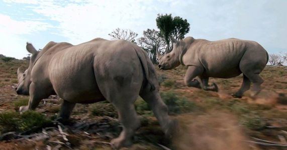 Does This Rhino Drone Video Help or Hurt Conservation?