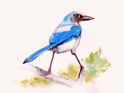Scrub Jay, 8x6 Watercolor
