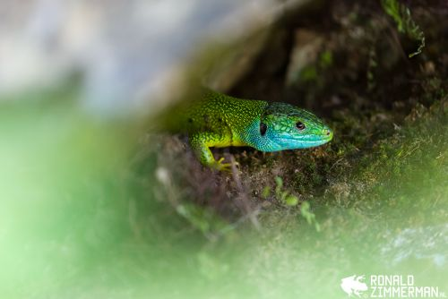 How to Photograph Wild Amphibians and Reptiles Safely and Ethically