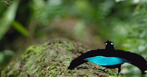 Spectacular Fans of Feathers Define the Vogelkop Superb Bird-of-Paradise Courtship Ritual