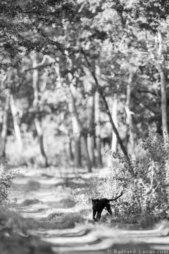 Black Leopard: My quest to photograph the most elusive cat in Africa