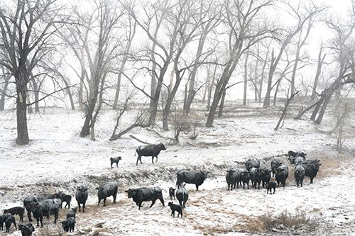 """Landscape, Wildlife Fine Art Photography """"Cattle in the Snow Storm"""" by Colorado Photographer Kit Hedman,Boarding House Studio Galleries,Denver"""