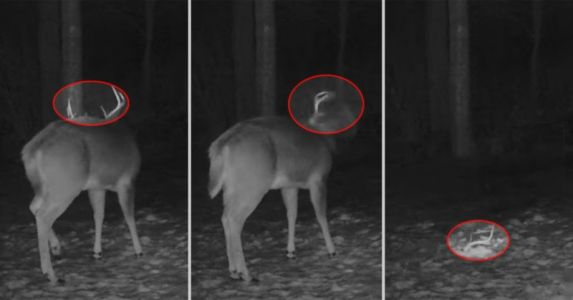 Trail Camera Captures Rare Footage of Deer Shaking Off Its Antlers