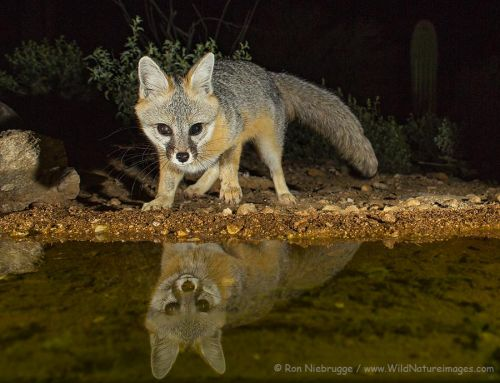 Gray Fox at the Water Hole