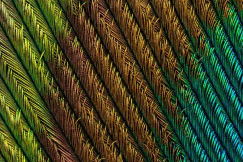 I Shot Macro Photos That Capture the Beauty of Peacock Feathers